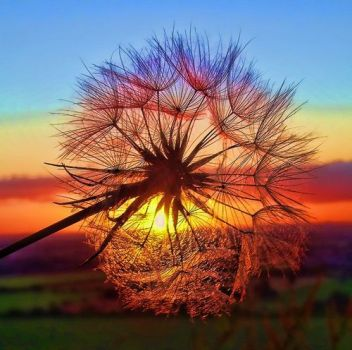 Another Dandelion Sunrise