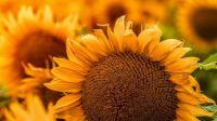 sunflower_flowers_yellow_184632_3840x2160