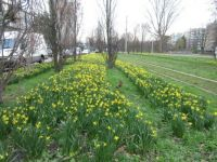 Daffodils as far as the eye can see.