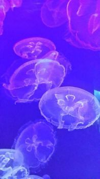 Waikiki Aquarium: Moon Jelly