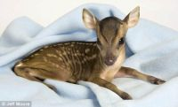 Tiny cute baby fawn