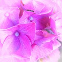PINK HYDRANGEA CLOSE UP