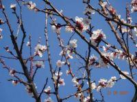 Kvetoucí meruňka - Blossoming apricot