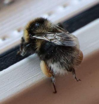 Bumblebee #2