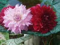 End of Season Dahlias