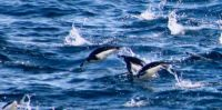 Chinstrap Penguins can (nearly) fly!