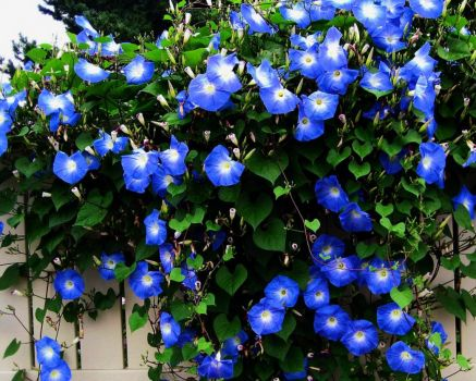 I love, blue morning glories!!!!