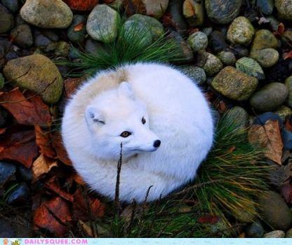 Artic Furball