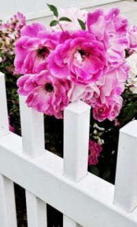 Pinks on Fence Posts