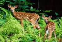 Fawns In Ferns