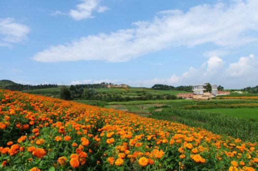 Marigolds in full boom in Luxi County of Honghe Prefecture, Yunnan