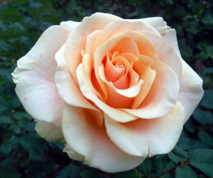 Glow Rose
