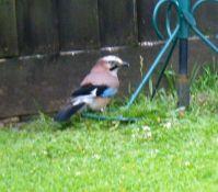 Jay - visiting the bird feeder