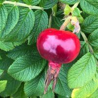 Late summer rose hips