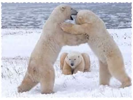 Write a Caption!  polar bears 3