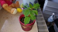Our mini poinsettia :-)