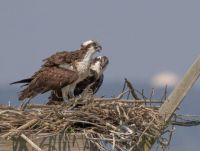 Two Osprey's in a nest