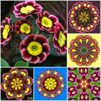 Primula Collage 2