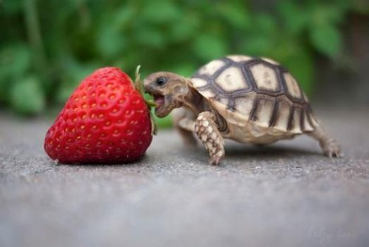 little turtle,big strawberry