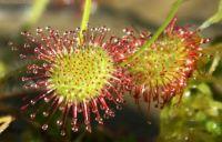 Round Leafed Sundew