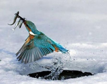 'A successful hunt' Awesome picture of a badass kingfisher!