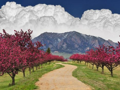 Cherry Blossoms Flatirons Boulder Colorado