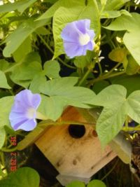 A birdhouse and morning glories
