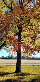 Sweetgum Tree in Fall Color