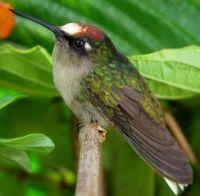 Santa Marta Blossomcrown Hummingbird