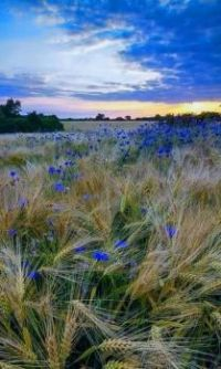 Cornflowers, in beautiful field