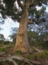 Eucalypt, Kangeroo Island, Australia