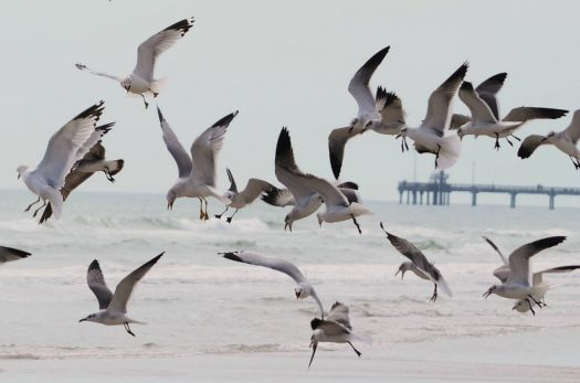 Seagulls fighting for the food! North Padre Island, TX