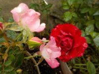 Mini roses 'Little Artist' and 'Ruby Ruby'