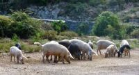 Corsican Pigs