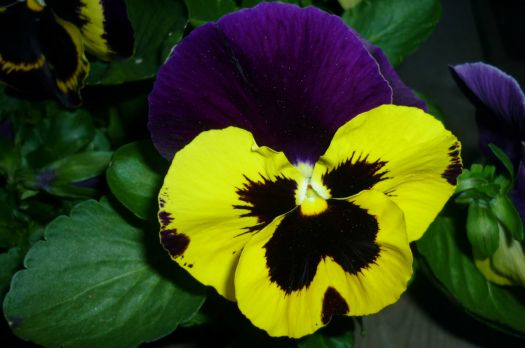 Pansy close-up