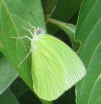 Lemon Migrant Butterfly...