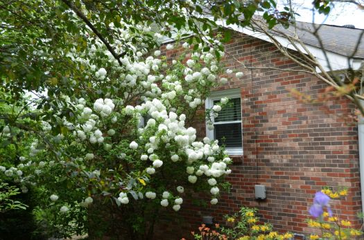 Next Door Neighbor's Snowball Bush/ Tree