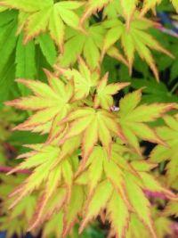 new leaves--medium