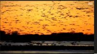 sand hillcranes at sunset