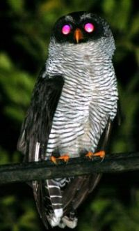 Black-and-white Owl (Strix nigrolineata) 2