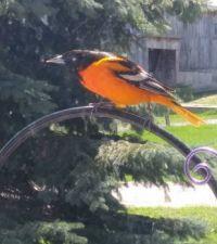 new visitor to birdfeeder