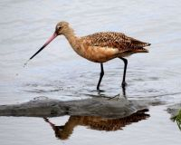 Marbled Godwit, Grand Avenue Bridge, Del Mar, California