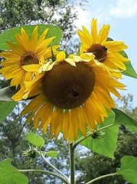 funny sunflower - 3 heads on one stalk