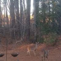 Deer Raiding the Garden