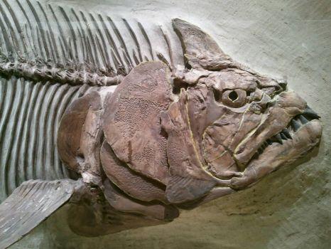 Xiphactinus molossus