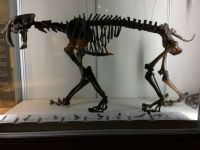 Saber-Toothed Cat, University of OR Native American Museum