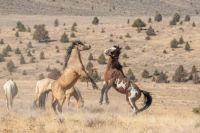 Wild Horses in Steens Mtns in Eastern Oregon