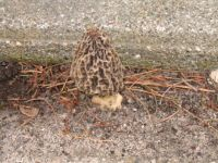 Morel in crack of my driveway