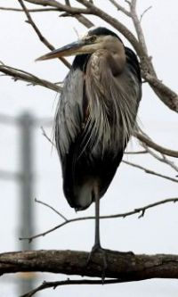 Great Blue Heron, Horse Park Trail, Del Mar, California