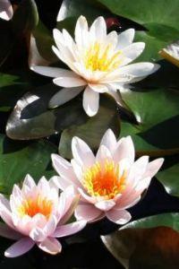 Trio of Waterlilies